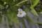 珍しい「ミズオオバコ(水車前草)」の花。(24.8.8)