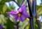 ナス(茄子)は、紫色の花と茎…。(24.8.9)