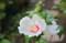 ムクゲ(木槿)の品種「日の丸」。(24.8.9)