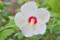 「ムクゲ(木槿)」の品種、「日の丸」が開花。(24.8.)9