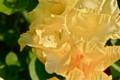黄色のグラジオラス・小さな虫。(24.8.10)