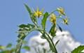 青空に映える「トマト」の花。(24.8.17)