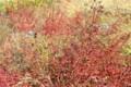 「ミソハギ」の「草紅葉」。(24.10.15)(