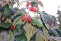 「山茱萸」の葉に霜。(