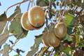 「キウイフルーツの葉」も霜枯れて…。(24.11.3)