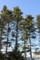 駒場公園、モミやトウヒの並木。(25.2.21)
