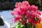 今が真っ盛り、「プリムラマラコイデス」の花。(25.2.23)