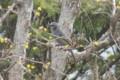 サンシュユの枝に止まり、花を啄む「ヒヨドリ(鵯)」。(25.3.23)