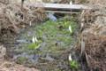 手作りの「水芭蕉園」。(25.3.30)