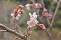 わが家の桜、開花2番手は、「ケイオウザクラ(啓翁桜)」。(25.4.2)