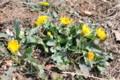 今年も出会えた「在来種タンポポ」。(25.4.14)