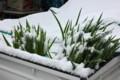 軽トラ荷台の上で雪を被った「下仁田ネギ苗」。(25.4.21)