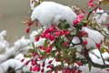 雪を被った「ハナカイドウ」の蕾。(25.4.21)