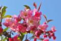 青空に映える「ハナカイドウ(花海棠)」の花。(25.4.27)