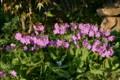 地面には、ピンクの「サクラソウ(桜草)」が…。(25.5.9)