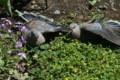 翼を広げて、日光浴する「キジバト(雉鳩)」のつがい。(25.5.12)