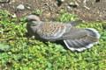 翼を広げて、日光浴する「キジバト(雉鳩)」。(25.5.12)