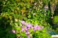 「ハボタン(葉牡丹)」も黄色の花をつけて…。(25.5.15)