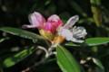 咲き始めた「ヤクシマシャクナゲ(屋久島石楠花)」(25.5.17)