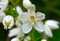 分類のための花糸の形。(25.5.18)