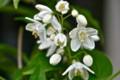 咲き始めた、「ヒメウツギ(姫空木)」の花。(25.5.18)