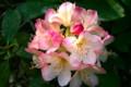 洋種石楠花「パーシーワイズマン」(25.5.18)