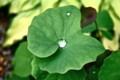 「タツタソウ(竜田草)」の葉に、水玉が…。(25.5.20)