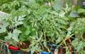 買い求めた「野菜苗のポット」。(25.5.20)
