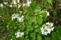 木蔭にひっそりと咲く、「ヤブデマリ」。(25.5.21)