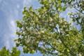 花が咲き始めた「ハクウンボク(白雲木)」の梢。(25.5.21)
