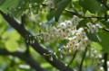 「ハクウンボク(白雲木)」の花。(佐久平駅南)(25.5.21)