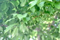 繁った若葉に埋もれている、「エゴノキ」の蕾。(25.5.21)