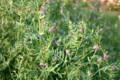 咲き始めた「カラスノエンドウ(烏野豌豆)」。(