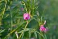 「カラスノエンドウ(烏野豌豆)」の花。(25.5.22))