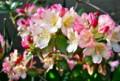 カラフルな「パーシーワイズマン」石楠花。(25.5.22)マン
