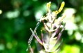 葉牡丹の花に、糸蜻蛉が…。(25.5.23)