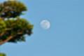 「イチイ」の葉に夕日…、「卯月十四日」の月。(