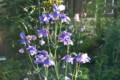 見頃の、「オダマキ(苧環)」の花。(25.5.24)