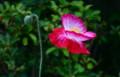 しっとり、艶やかな「ポピー」の花。(25.5.29)