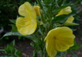 「オオマツヨイグサ(大待宵草)」の花。(25.6.6))