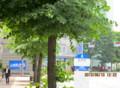 長野市、青葉の街路樹。(25.6.10)