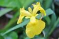 「キショウブ(黄菖蒲)」の花。(25.6.13)