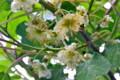 キウイフルーツの雄花。(25.6.15)