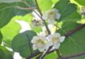 キウイフルーツの雌花。(25.6.15)