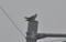 近くの電柱で啼く「カッコウ(郭公)」。(25.6.20)