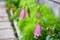 ホタルブクロは「雨降り花」の代表。(25.6.20)