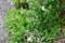 散り始めた「バイカウツギ(梅花卯木)」の花。(25.6.20)