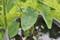 里芋の花の上に、水玉…。(