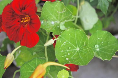 「金蓮花(ナスタチウム)」、葉の上に水玉。(25.6.21)