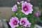 「ゼブリナ」種の花。(25.6.21)